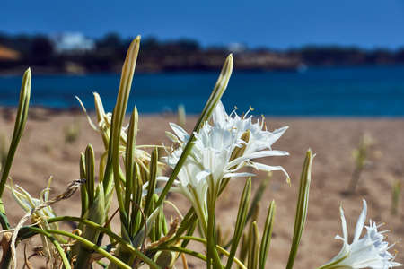 white flowers of the sea of ??daffodil, on a sandy beach on the island of Rhodes