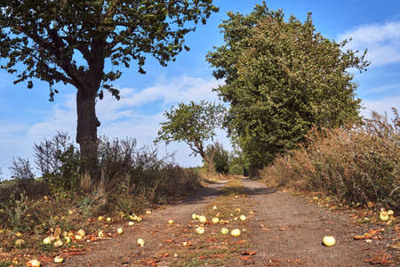 Ripe apples on a dirt road in summer in Poland