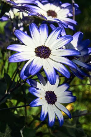 Close up of an African daisy flower in the garden