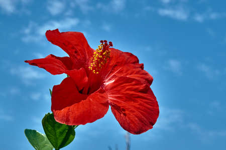 red Hibiscus flower on Kos island in Greece