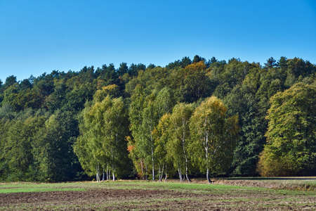 Birches against a dark, deciduous forest during autumn in Germany Stock Photo