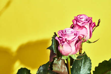 Beautiful pink rose flower on a yellow background Stock Photo