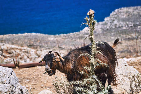 Goat eating a spiky thistle on the Greek island of Crete