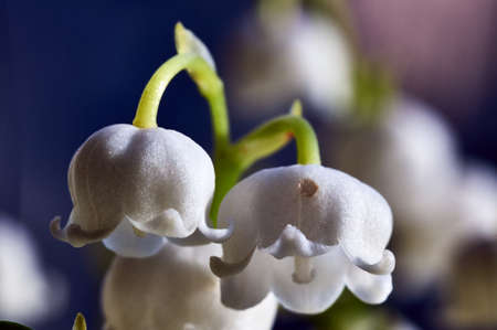Detail of a white flower lily of the valley 免版税图像 - 115390527