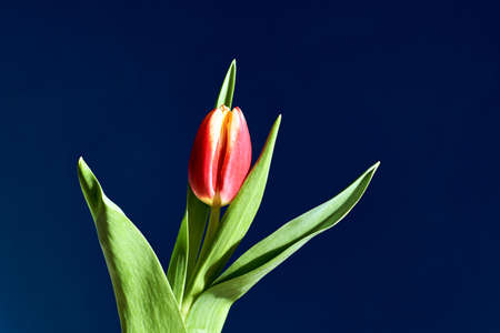 green leaf and single, red tulip flower