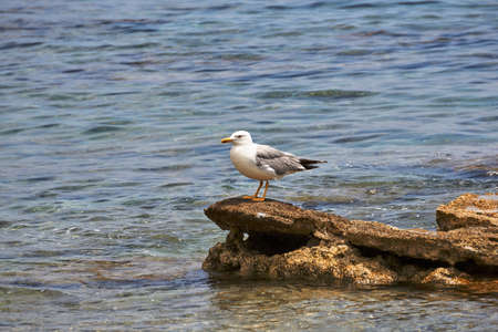 Audouins gull sitting on a stone by the sea shore Stock Photo