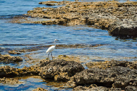 White heron hunting on the rocks by the sea