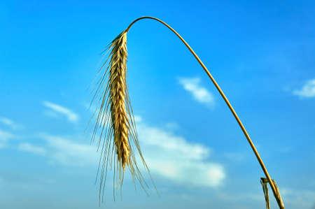 Ears of rye, farming in Poland