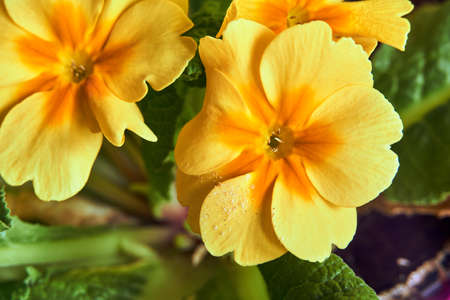 A yellow primrose flower blooming in early spring in Poland Stock Photo