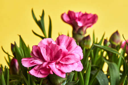 Ornate bouquet of blooming pink carnation flowers Stock Photo