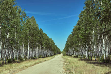 sandy road through a birch coppice during summer in Poland Stock fotó