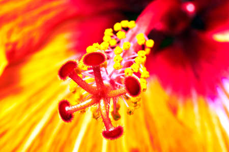 Close-up of the end of the rod in a blooming red hibiscus flower