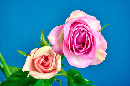 Beautiful blooming rose flowers on blue background