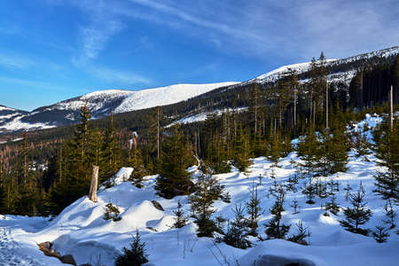 Buried in snow forest and dry trees in the Giant Mountains in Poland Stok Fotoğraf