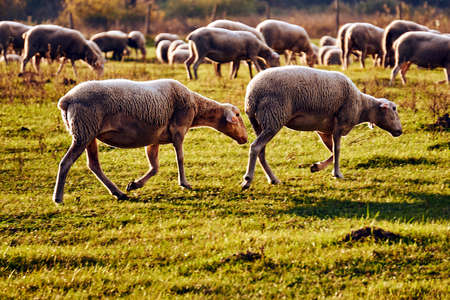A herd of sheep grazing in a meadow in the Warta River backwaters in Poland