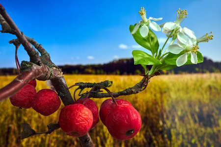 White flowers and small, spherical fruit of the paradise apple tree during autumn in Poland