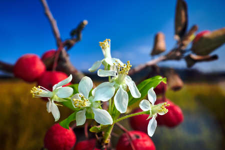 White flowers and small, spherical fruit of the paradise apple tree during autumn in Poland Stock Photo - 160875873