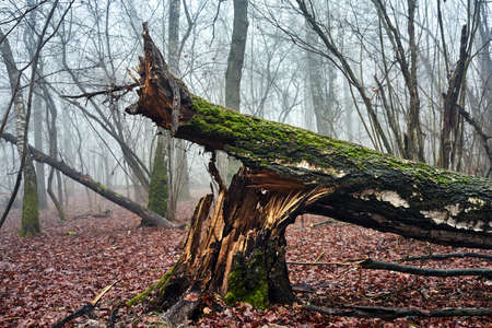 A broken tree trunk in a misty forest during autumn in Poland Stock Photo