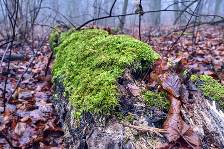 a fallen tree trunk covered with moss in a misty forest during autumn in Poland Stock Photo