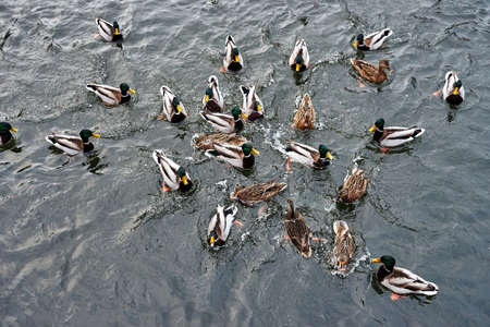 a flock of mallard ducks floating in the water of a pond in Poland