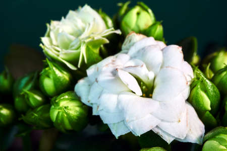 Close up of the small white flowers of Kalanchoe in Poland