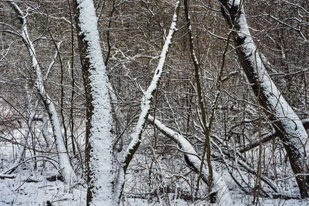 Snow-covered trees in a deciduous forest during winter in Poland Stock Photo
