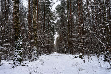 Snow-covered path in a deciduous forest during winter in Poland