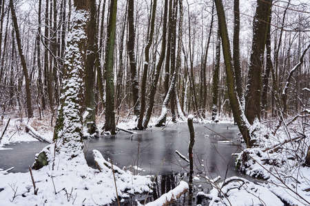 Frozen pond and snow-covered trees in a deciduous forest during winter in Poland