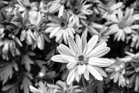 white chrysanthemum flower during fall in Poland, monochrome