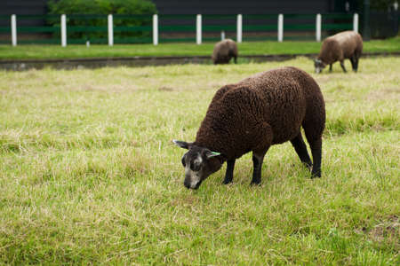cropping: Brown sheep cropping grass at the Netherlands