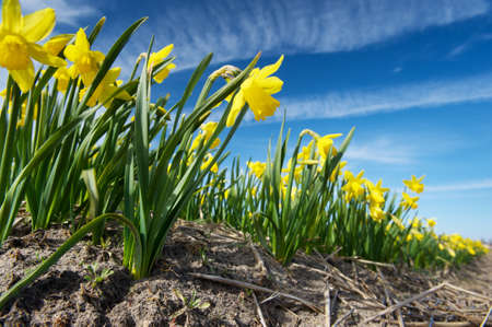 View from the ground on the yellow narcissus growing on a field, Netherlands photo