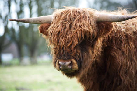 Portrait of the scottish highland cattle staring at the camera, Netherlands photo