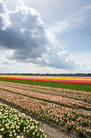 Tulip and narcissus fields in the Netherlands on a sunny spring day photo