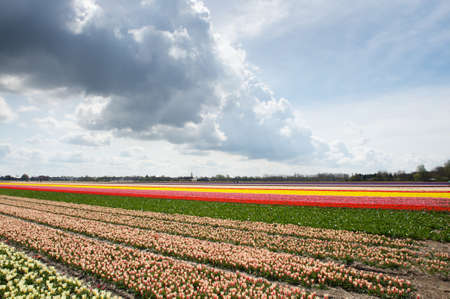Colorful tulip fields in the Netherlands on a sunny day with clouds photo