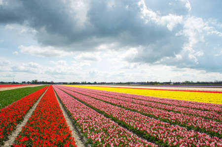 Colorful tulip fields and the tourists walking among them in the distance, the Netherlands photo