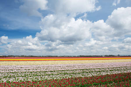 Colorful red, pink and yellow tulip fields in the Netherlands on a sunny day photo