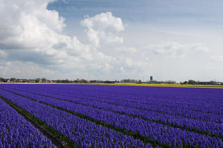 blue flowers: View of the field of blooming dark purple hyacinths, the Netherlands