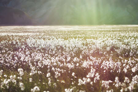 Cotton grass field with white flowers and mountains on a background in a sunset light, Iceland Stock Photo