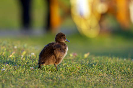 Baby duck walking in grass on a campsite in Iceland photo