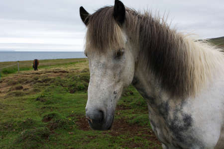 sawhorse: Portrait of a white icelandic horse on a cloudy day, Iceland