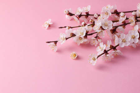 Spring composition of the twigs of flowering trees on a pink paper background.