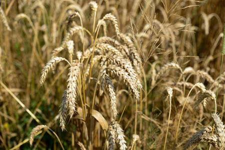 A grain field in germany