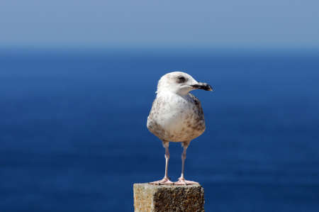 A seagull is resting