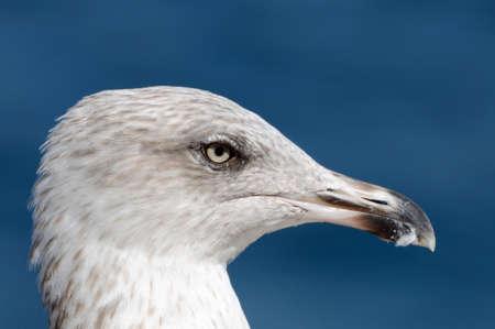 A detail of gray seagull of the Atlantic  Banco de Imagens