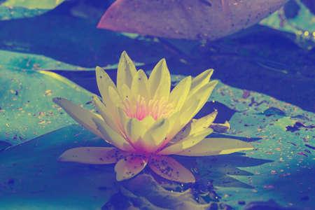 water lily Banco de Imagens