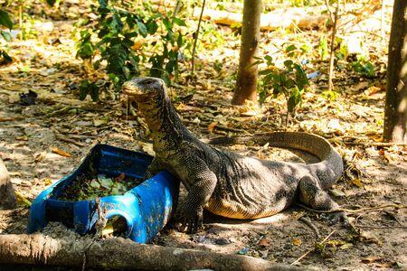 Animals kingdoms of Thailand, lizards and iguanas Zdjęcie Seryjne