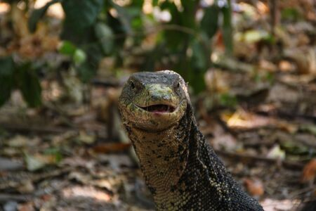 Animals kingdoms of Thailand, lizards and iguanas Stock Photo