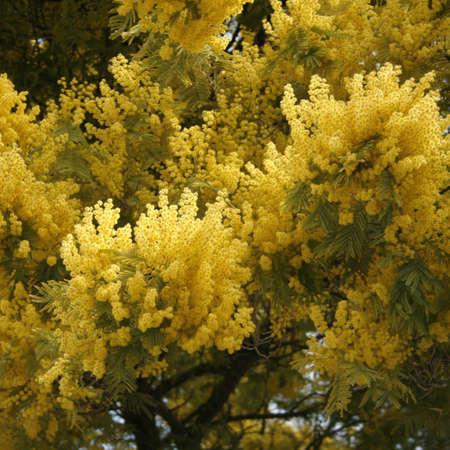 mimosa: Blooming mimosa