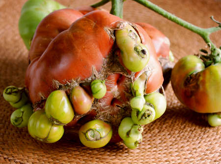 perish: Unusual ripe big tomato Stock Photo