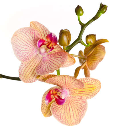 mothering: Colored cultivated orchid isolated on white background - ideal greeting card